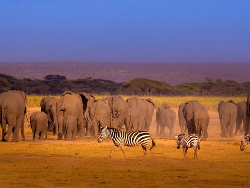 Zebras & Elephants in harmony at Amboseli National Park, Kenya
