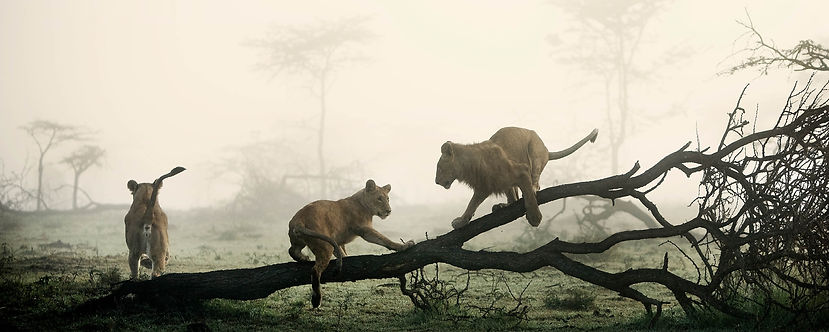Lions playing on dead tree - panorama.JP