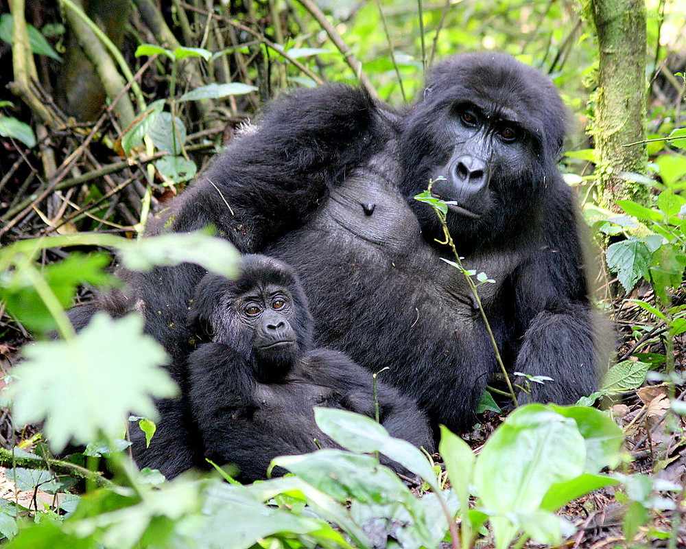 A Gorilla & its Young one at Bwindi National Park Uganda