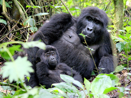 Mountain Gorilla at Bwindi National Park