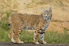 Bobcat_rarely seen but indigineous to th