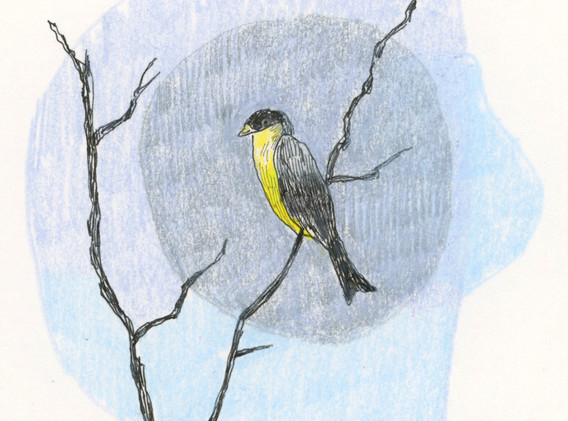 db_birds_lessergoldfinch_ebird.jpg
