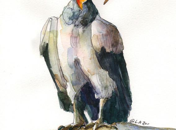 bird_condor_lazoo_bw002.jpg