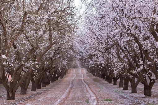 almond blossoms.jpg