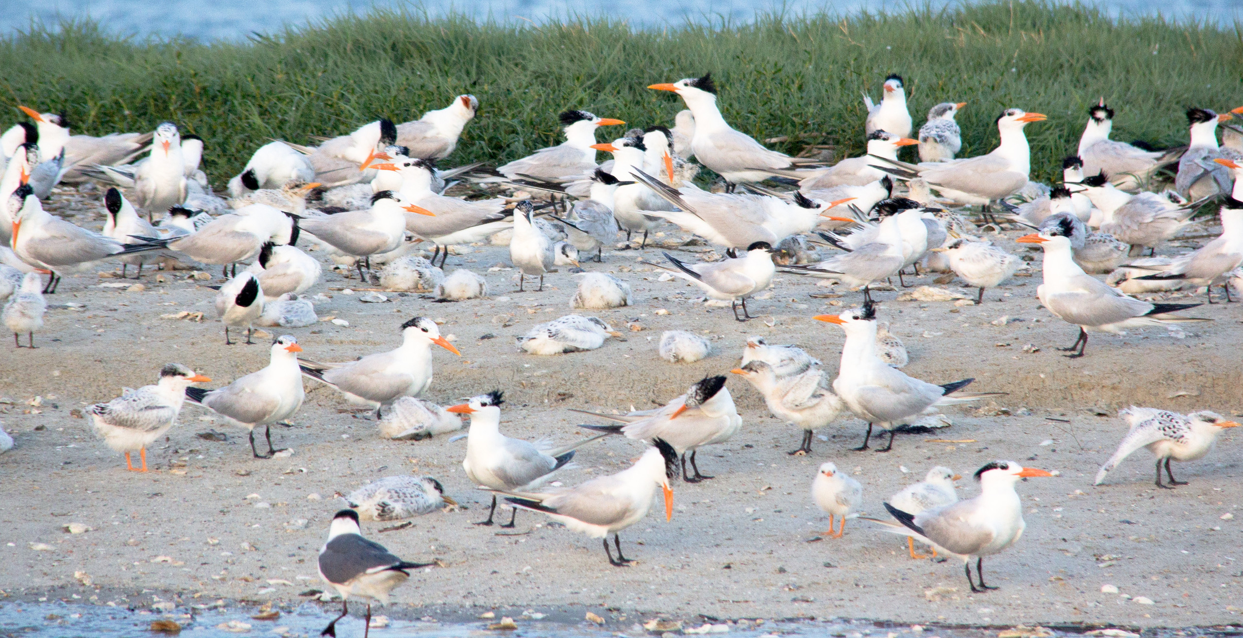Fluffy juvenile Royal Terns rest on the ground while adults stand watch.