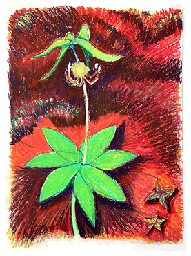 Indian Wild Cucumber by Lisa Sheirer