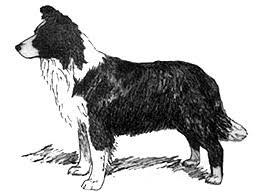 Australian Border Collie Breed Standard