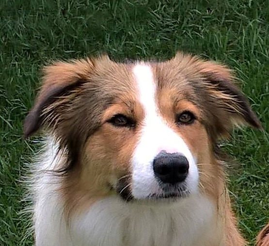 The Differences Between Male and Female Border Collies