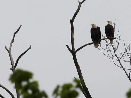 Nesting eagles halt construction in Hopatcong
