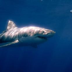 Sunlight Shark