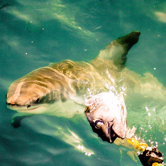 Smart Shark