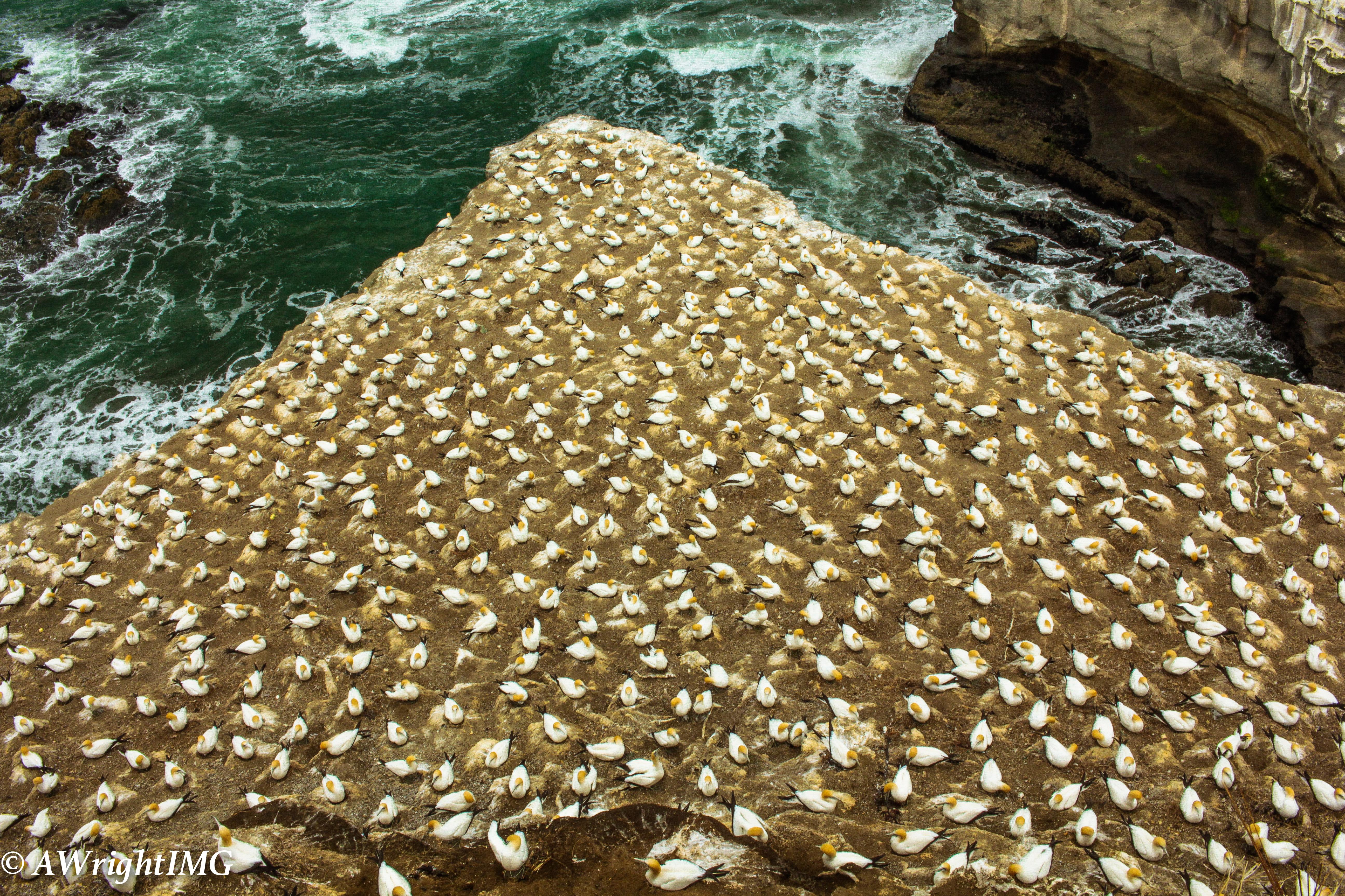 Gannet Swarm