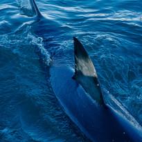 Surface Shark