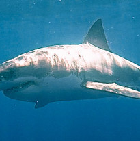 Go Pro Shark