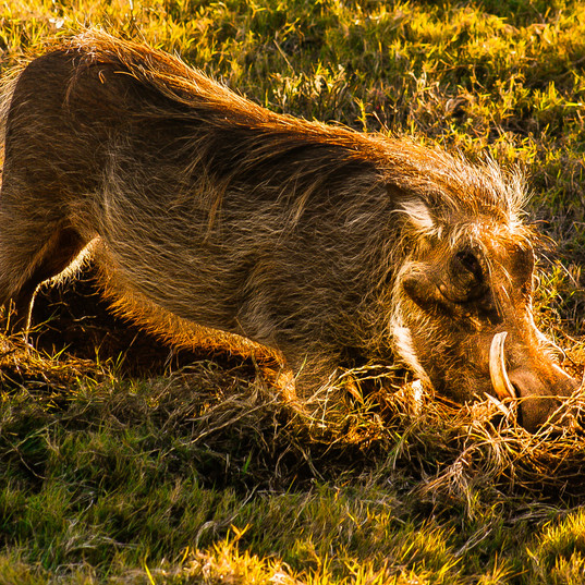 Beautiful Warthog