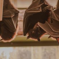 Clever Bats
