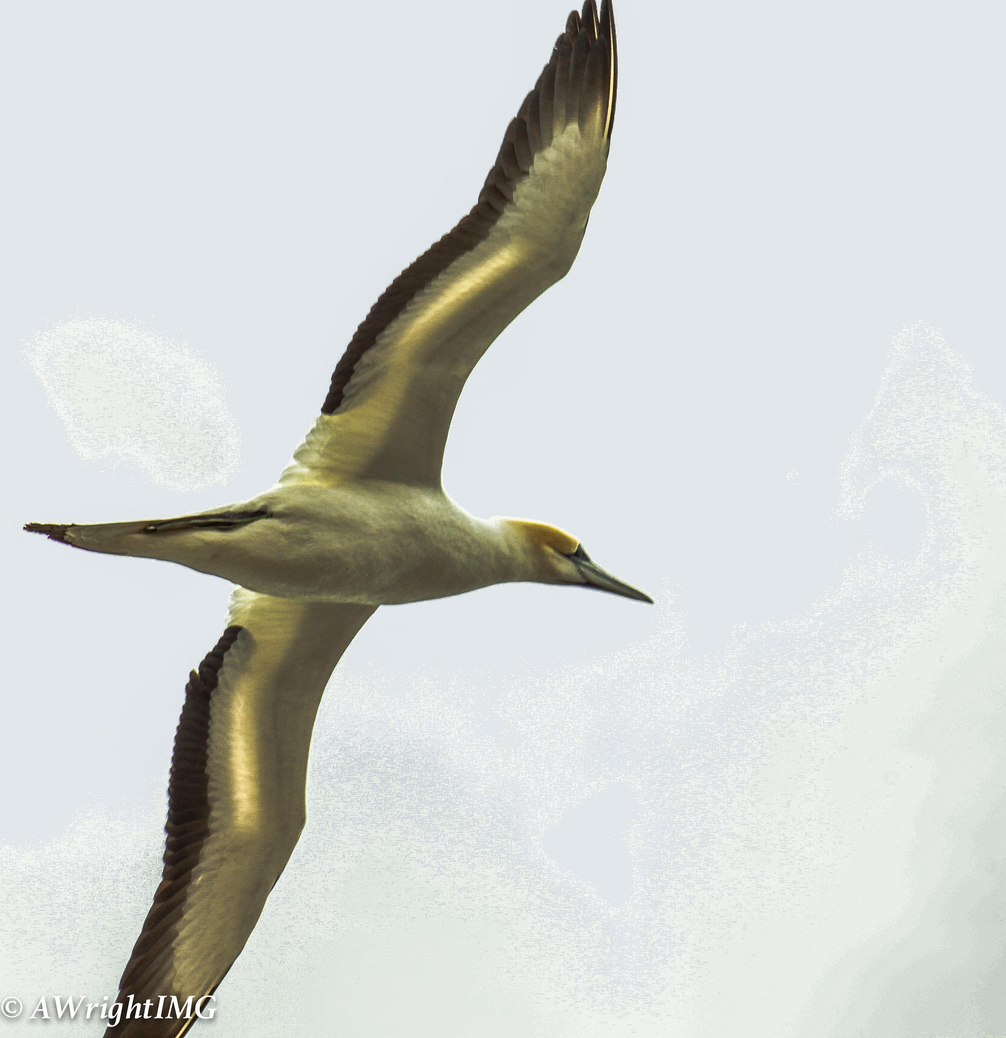 Gannet From Below
