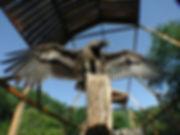 Storm - Immature Andean Condor