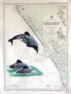 NZ 43 Maui Dolphins.jpeg