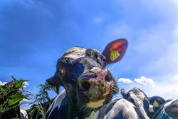 cow-4311814__340