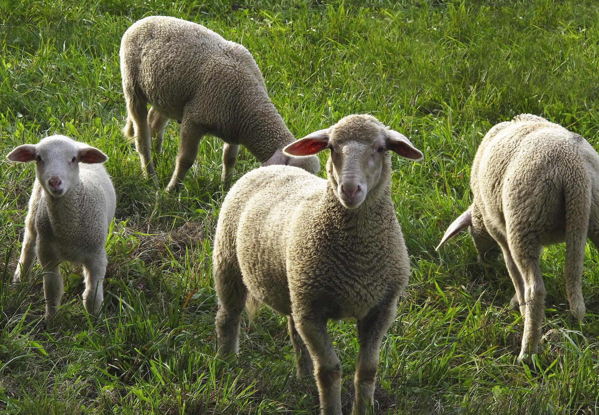 moutons_prairie_pré