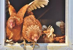 chicken-4021096__340