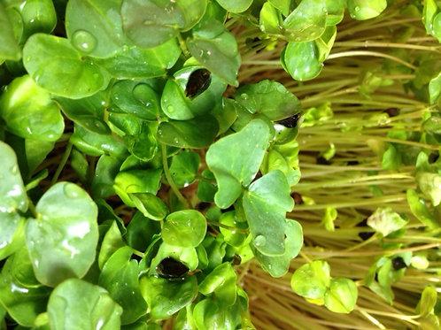 Buckwheat lettuce