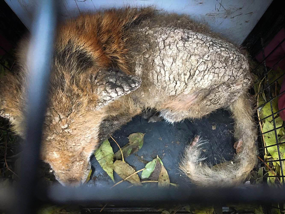 Molly the fox with Sarcoptic Mange