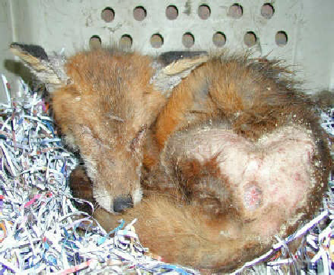 Mange in foxes can also bring on conjunctivitis