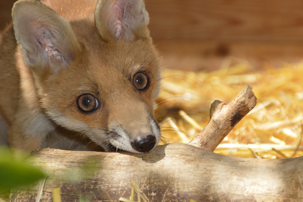 A Mini fox: ears up and showing most of the fox colours