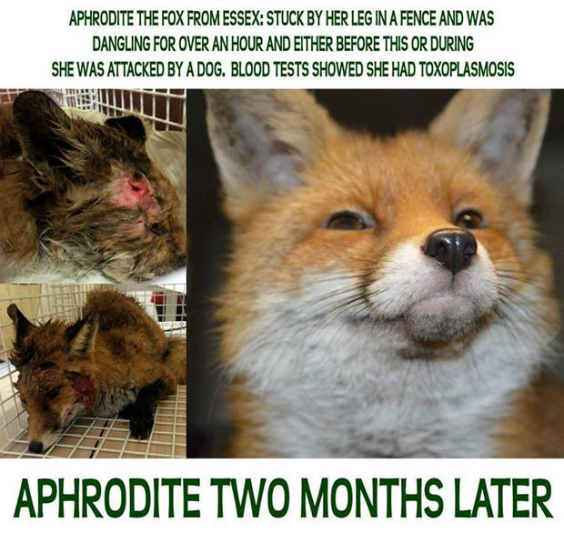 Aphrodite-the-fox-with-toxoplasmosis.jpg