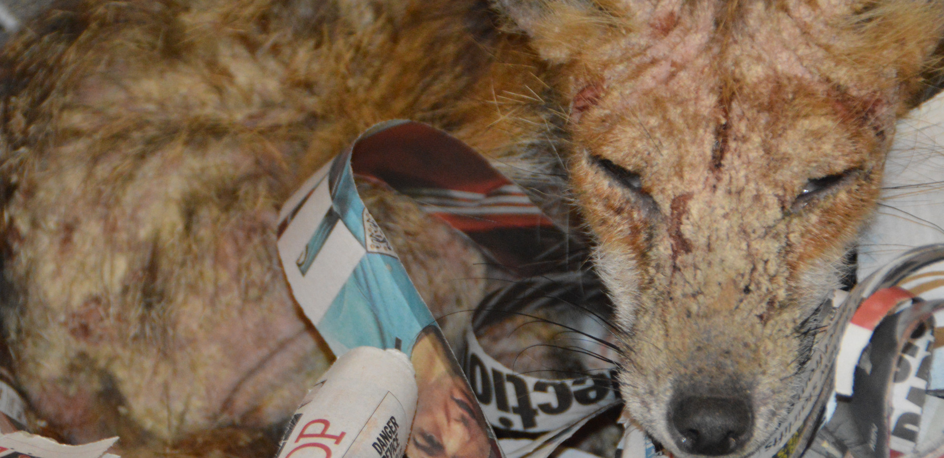 Fox with Sarcoptic Mange