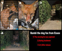 Bambi-before-after.jpg