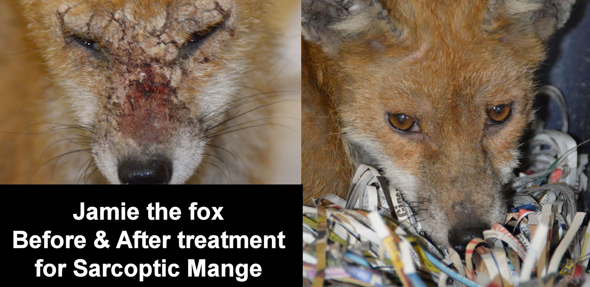 Mange in foxes.jpg