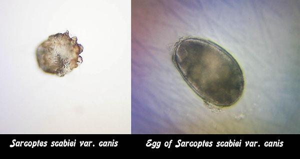 Sarcoptic Mange Mite and Egg.jpg