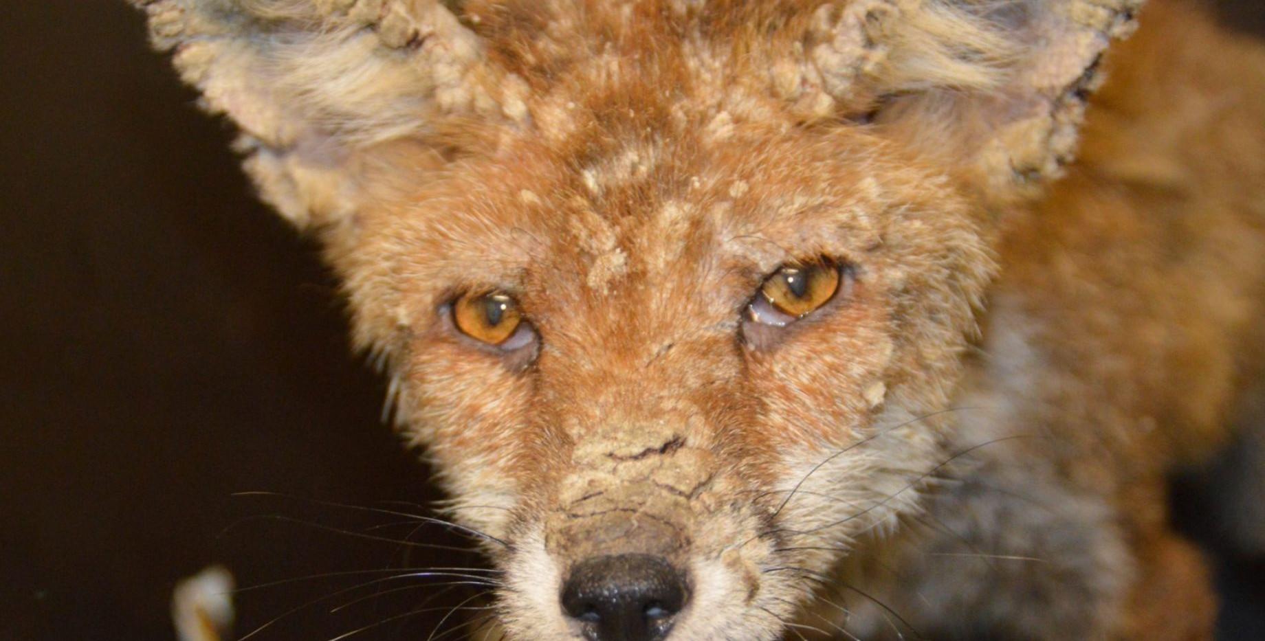 Growler-the-dog-fox.jpg