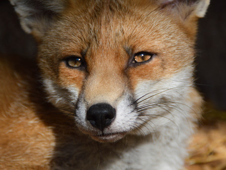 Toxoplasmosis in the Red Fox Population(Vulpes vulpes)