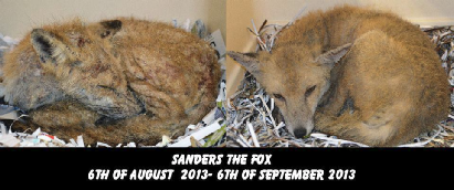 The image shows a fox recovering from Sa