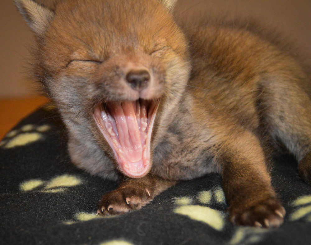 Fox Cub starting to look more foxy