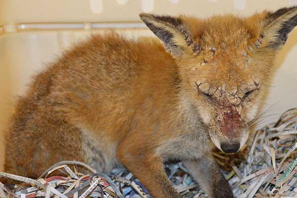foxes_mange