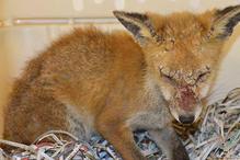foxes_mange.jpg