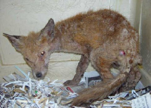 A fox with mange will also lose weight