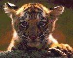 tigercub.jpg