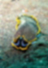 Menjangan Nudibranch Bali