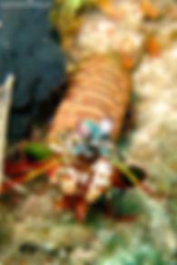 Padang bay Shrimp