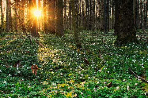 Beautiful woodanamone in the morning