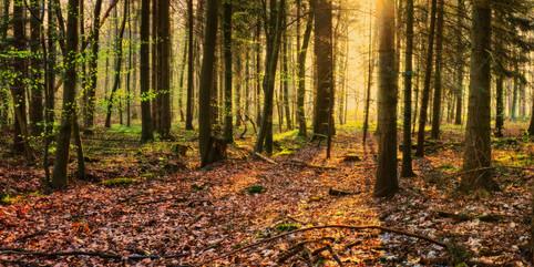 Sunrise in the forest of Borstel Hohenrade - Schleswig Holstein