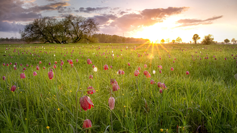 Hetlinger Schachbrettblumen