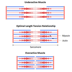 Overactive / Underactive Muscles. Everything you need to know.