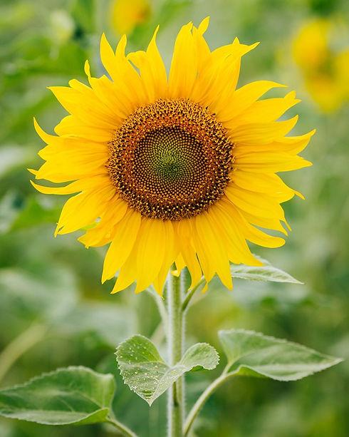 Sujnflower.jpg